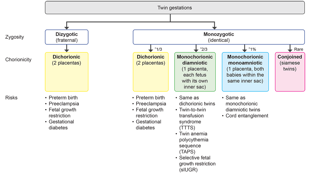 Twin Gestations: Dizygotic (fraternal) - Have one Chorionicity: Dichorionic (2 placentas). Risks: Preterm birth, Preeclampsia, Fetal growth restriction, Gestational diabetes Monozygotic (identical) - Have four Chorionicitys: Dichorionic (2 placentas) ~ 1/3Risks: Preterm birth, Preeclampsia, Fetal growth restriction, Gestational diabetes Monochorionic diamniotic (1 placenta, each fetus with its own inner sac) ~ 2/3 Risks: Same as dichorionic twins, Twin-to-twin transfusion syndrome (TTTS), Twin anemia polycythemia sequence (TAPS), Selective fetal growth restriction (sIUGR) Monochorionic monoamniotic (1 placenta, both babies within the same inner sac) ~1% Risks: Same as monochorionic diamniotic twins, Cord entanglement Conjoined (Siamese twins) - rare